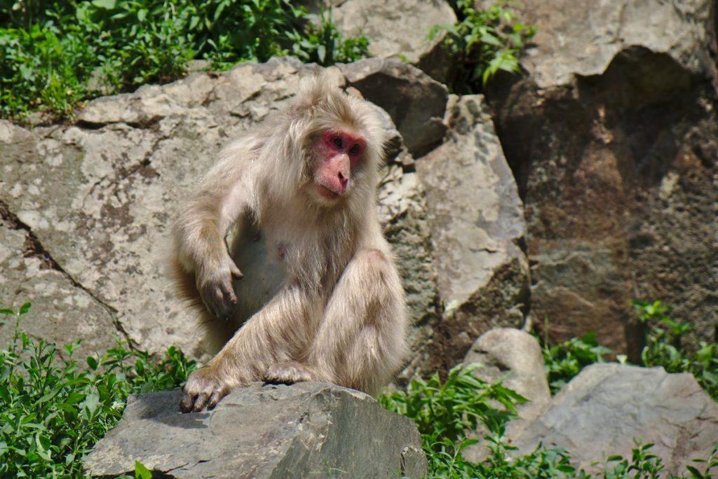 japońskie makaki